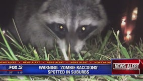 Police warn pet owners of 'zombie raccoons' in suburbs