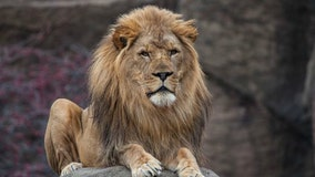 Lions at Chicago zoo getting a new $15 million home