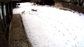 Vicious coyote attack on dog captured on video
