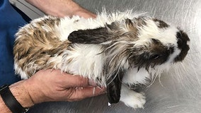Bunny survives after being found in river with rope and anchor tied around its neck