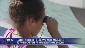 Gator notoriety grows as it manages to avoid capture in Chicago lagoon