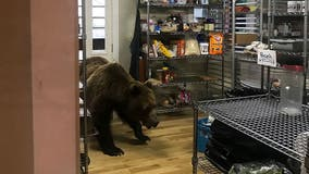 Alaska bear put down after breaking into fishing lodge in search of dinner