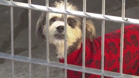 Free pet adoptions on Sunday in Chicago - get a dog, cat guinea pig or chicken at no charge!