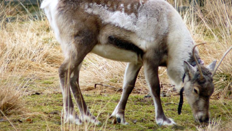 03a035ec-reindeer_1484348936322.png