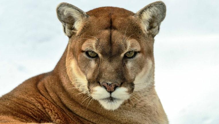 0eb19aaa-cougar_1516414525414.jpg