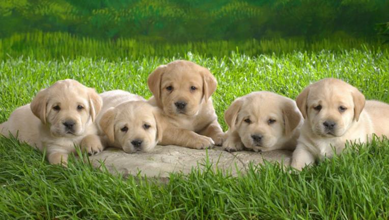1a55219e-puppies_1487354178120.png