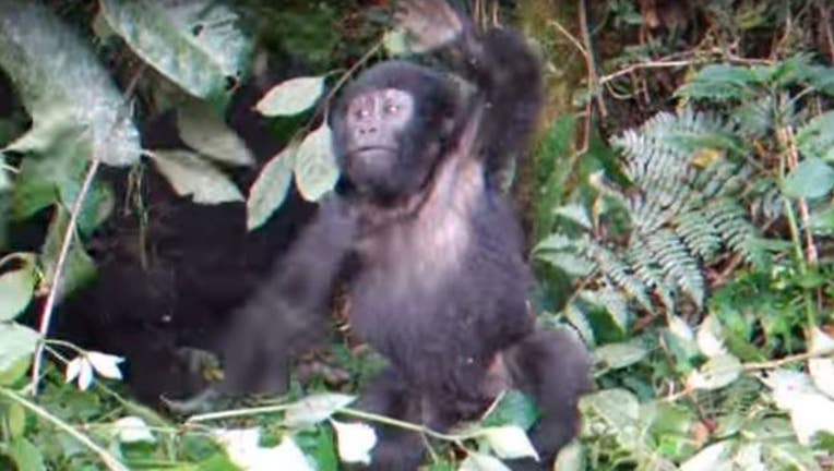 1ba8e1bc-baby-gorilla_1467048488357.JPG