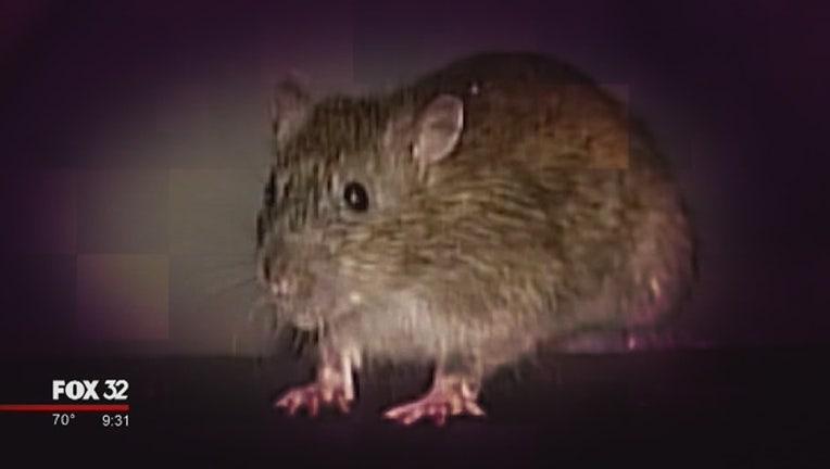 1ba8e1bc-rat-rodent_1561691496994.jpg