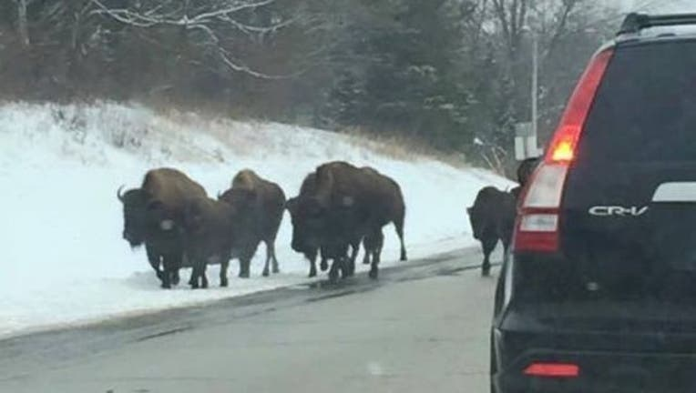 23caaa7d-bison-escape_1457369995472.jpg
