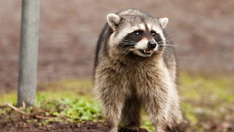 raccoon_1522886087420.jpg