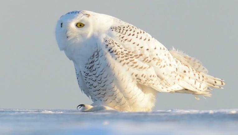 2c16bc3e-snowy-owl_1513948662749.jpg