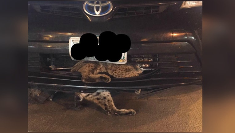 2cab708d-Bobcat trapped in car grill