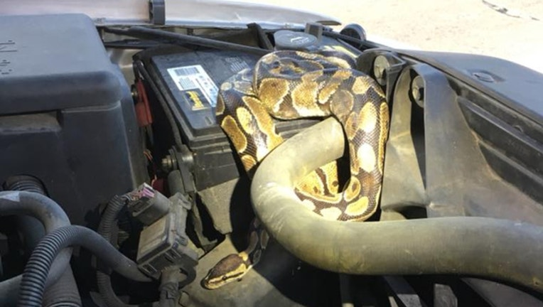 3bf98d6e-python-in-wisconsin-car_1535130305114.jpg