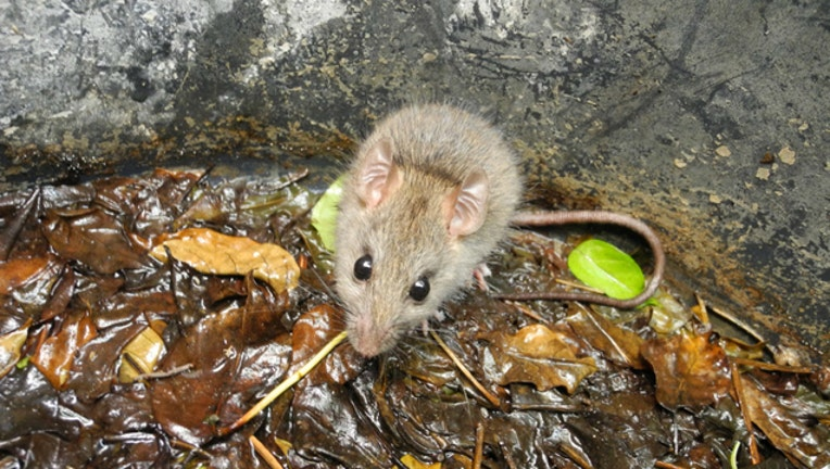 rat-rodent_1474405721961.jpg