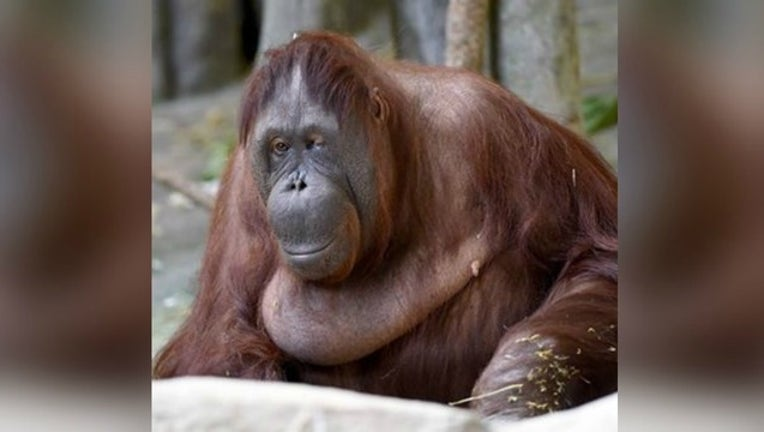 4f1679ed-maggie-orangutan_1463850211534.jpg