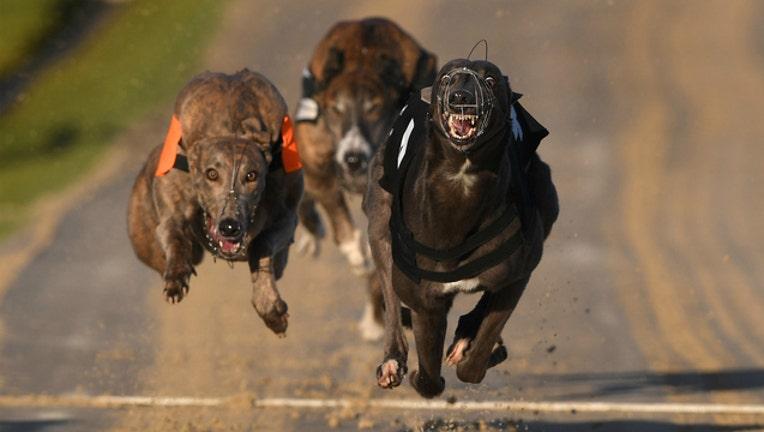 53018142-GETTY Greyhound Racing