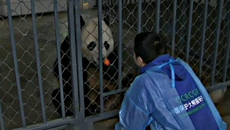 Bao Bao the panda at her new home in Chengdu City, China - image courtesy CCTV