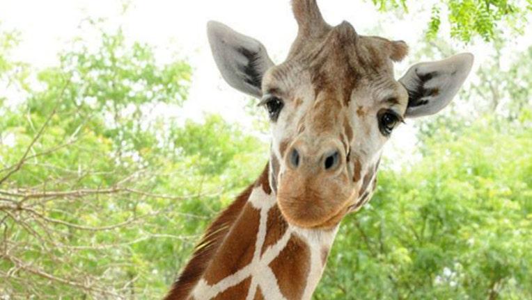 598ebc87-giraffe_1509657264315.jpg
