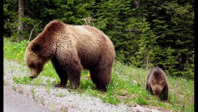 601b9a12-grizzly-bears_1440867690907.jpg