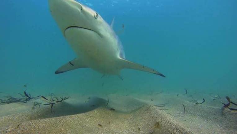 60e99298-Shark_migration_season_kicks_off_0_20180301175448-402429