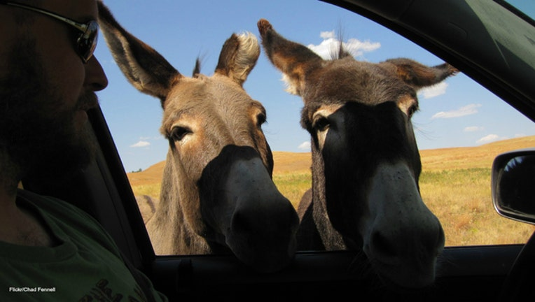 Custer State Park burros image by Chad Fennel via Flickr