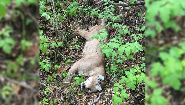 658e27e1-mountain-lion-found-dead_1556657151083-407068.jpg