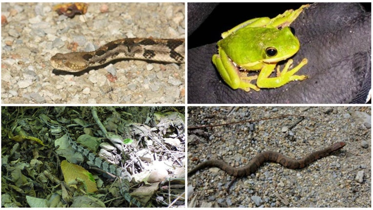 Snakes and amphibians migrate across Snake Road - photos courtesy US Forest Service - Shawnee National Forest