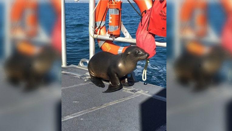 79de1ab2-This sea lion was rescued by the Coast Guard off Newport Beach, California (photo courtesy US Coast Guard)