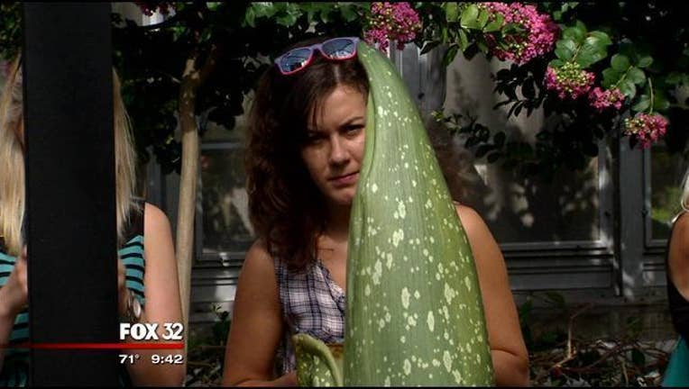 _Corpse_Flower__to_bloom_soon_in_Chicago_0_20150812025928