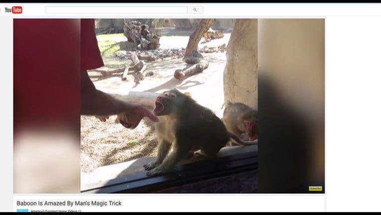 baboon-magic-trick_1458331593522-402429.jpg