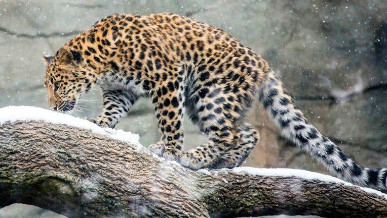 88543dfc-brookfield-zoo-leopard_1541789979718.jpg