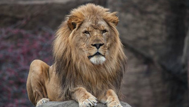 Lion at Lincoln Park Zoo in Chicago