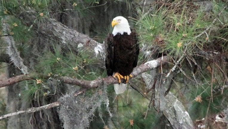 8bbfc30a-eagle photo_1461952029690-401385.jpg