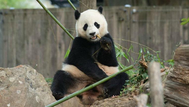 8ff6dfa6-Bao Bao the panda is moving to China this month (photo courtesy National Zoo)
