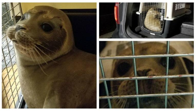 Baby Seal Rescued - images courtesy Amazing Animal Ambassadors