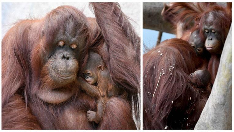 orangutang_1483466816150.jpg
