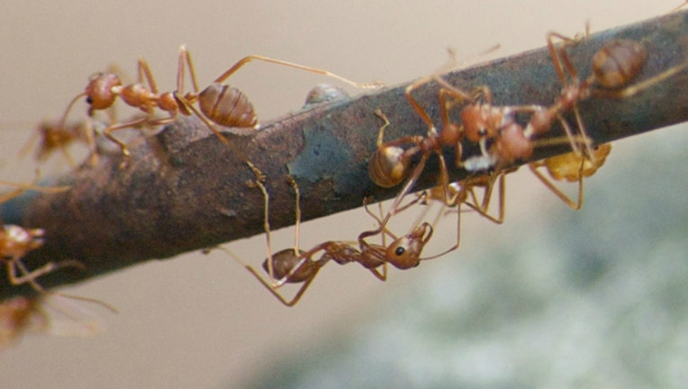 9bf8186f-Fire ants stock image by Dean Croshere via Flickr