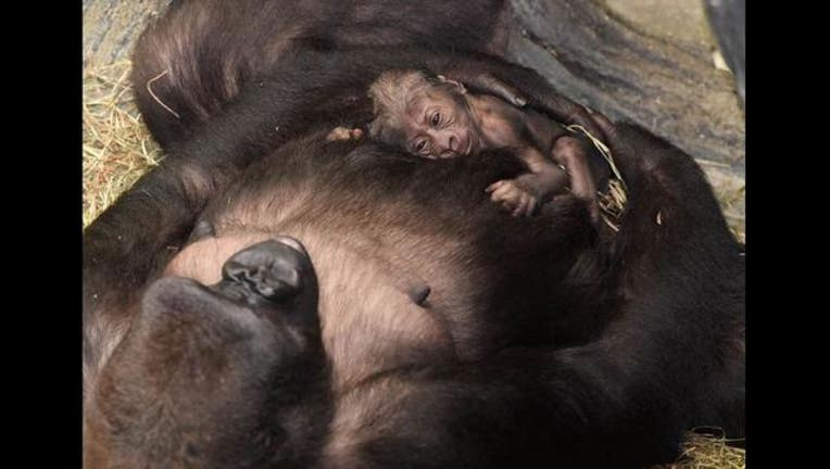 brookfield-gorilla