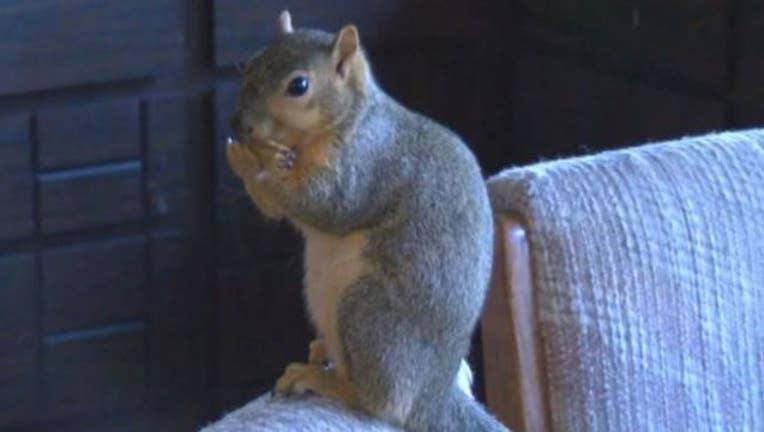 9d8c6fa9-pet-squirrel_1487180465238.JPG
