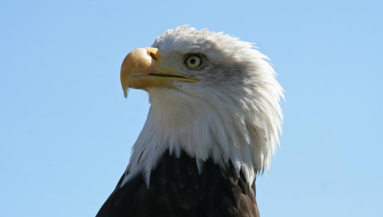 a1d91865-bald-eagle_1467718117224.png