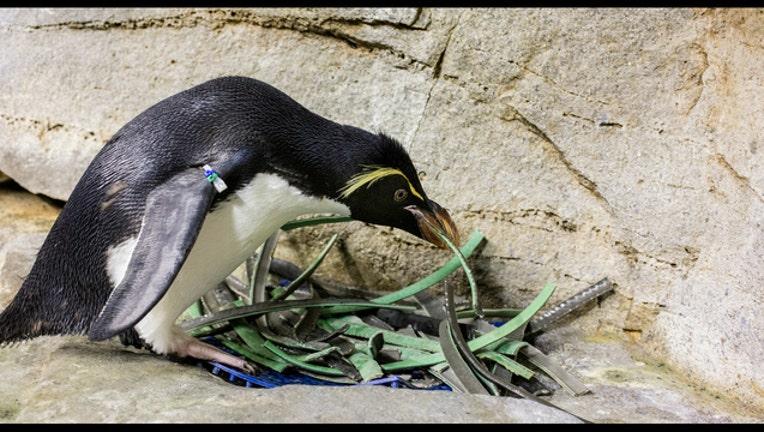 a4dcc290-Penguin builds love nest