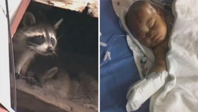 aad5b568-infant-raccoon_1514252580193.jpg