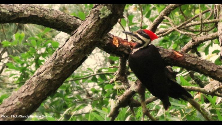 ab2b606b-Pileated Woodpecker photo by Sandy Aurlene Sullivan via Flickr