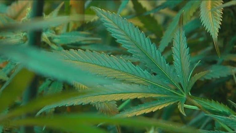 adf64c0b-Marijuana_Plant-401720.jpg