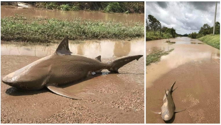 Queensland Fire and Emergency Services personnel found this bull shark in a road after Cyclone Debbie