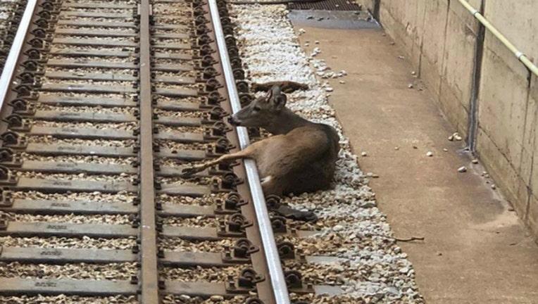 deer on cta tracks_1542065730680.jpg.jpg