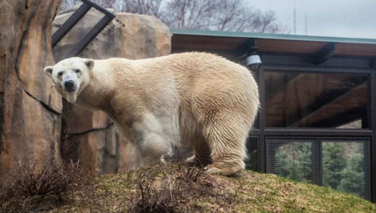 cfc15db0-polar bear kobe_1508538376669.jpg
