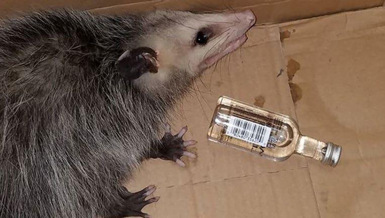 opossum-drinking_Emerald Coast Wildlife Refuge-401720