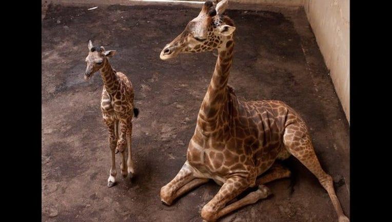baby giraffe_1459736063943-407068.jpg