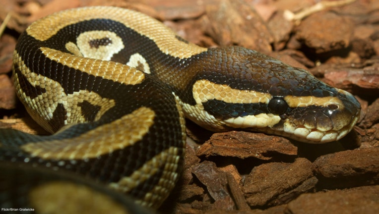 dcd5f770-Ball python snake file photo